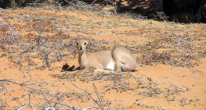 Os animais do Kalahari: as gazelas