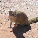 Mangosta amarela, Kgalagadi Transfrontier Park, África do Sul. Author and Copyright Marco Ramerini