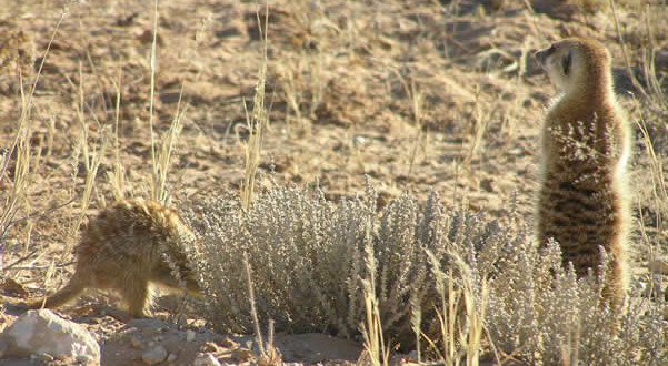Suricatos, Kgalagadi Transfrontier Park, África do Sul. Author and Copyright Marco Ramerini