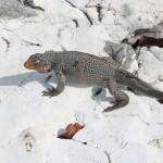 Iguana, Sandy Cay, Exumas, Bahamas. Autor e Copyright Marco Ramerini