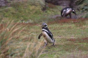Pinguim-de-magalhães (Spheniscus magellanicus), Gipsy Cove, Ilhas Malvinas (Ilhas Falkland). Autor e Copyright Marco Ramerini