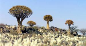 Kokerboom (Aloe dichotoma), Namíbia. Author and Copyright Marco Ramerini
