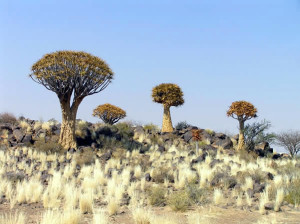 Kokerboom (Aloe dichotoma), Namíbia. Author and Copyright Marco Ramerini