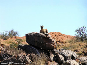 Klipspringer, Augrabies Falls National Park, África do Sul. Author and Copyright Marco Ramerini