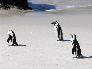 Pinguins no Foxy Beach, Boulders Beach, Cidade do Cabo, África do Sul.. Autor e Copyright Marco Ramerini