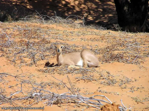 Steenbok, Kgalagadi Transfrontier Park, África do Sul. Author and Copyright Marco Ramerini