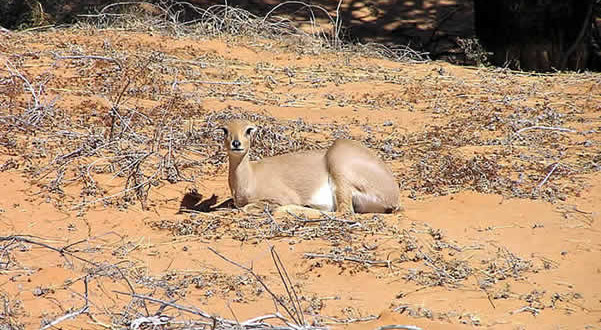 Steenbok, Kgalagadi Transfrontier Park, África do Sul. Author and Copyright Marco Ramerini