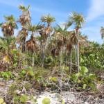 A vegetação típica da ilha principal, Sandy Cay, Exumas, Bahamas. Autor e Copyright Marco Ramerini