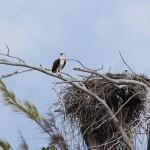A águia ea aguiazinha, Sandy Cay, Exumas, Bahamas. Autor e Copyright Marco Ramerini