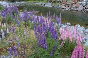 Lupinus angustifolius, Cascade Creek, Milford Road, Nova Zelândia. Autor e Copyright Marco Ramerini