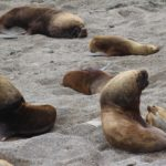Leões-marinhos, Punta Norte, Península Valdés, Argentina. Autor e Copyright Marco Ramerini