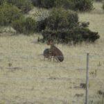 Mara ou lebre-patagônica, Península Valdés, Argentina. Autor e Copyright Marco Ramerini