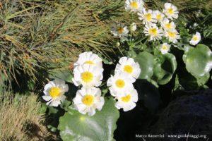 Flores (Ranunculus lyallii) ao longo do Hooker Valley Track, Nova Zelândia. Autor e Copyright Marco Ramerini