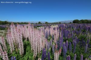 Lupinus angustifolius, Kurow Creek, Waitaki River Valley, Nova Zelândia. Autor e Copyright Marco Ramerini