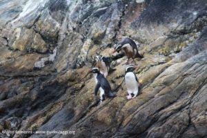 Pingüins, Doubtful Sound, Nova Zelândia. Autor e Copyright Marco Ramerini