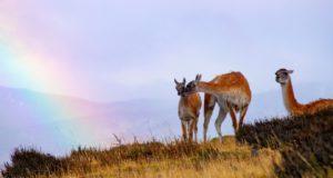 Guanacos, Parque Nacional Torres del Paine, Chile. Autor e Copyright Marco Ramerini