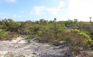 A vegetação do interior da ilha, Long Island, Bahamas. Autor e copyright Marco Ramerini